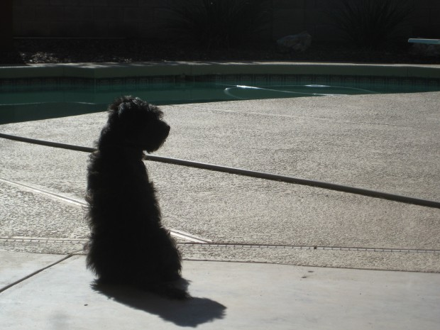 Small black dog sitting beside a pool