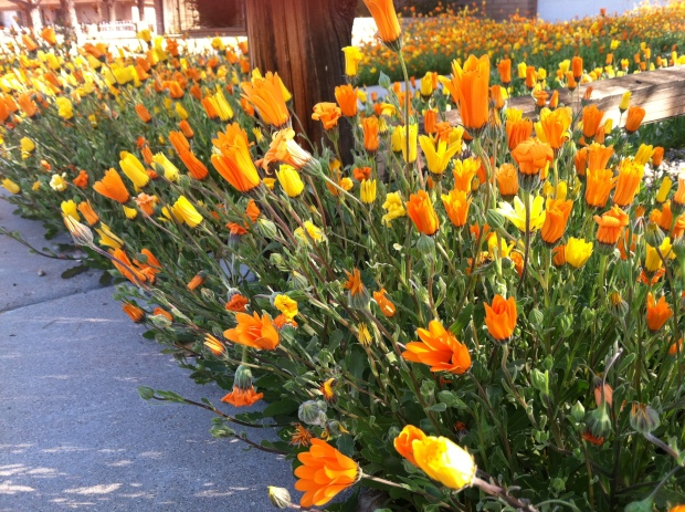 Orange and yellow Mexican poppies.
