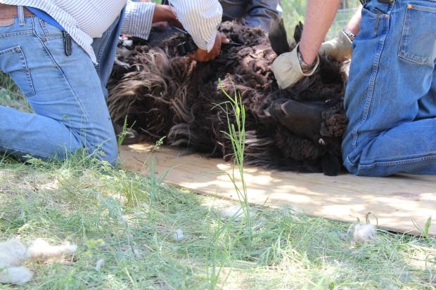 Brown Navajo-Churro sheep being sheared