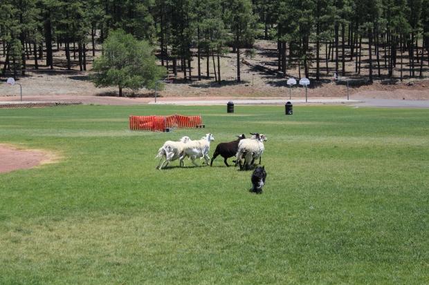 Sheepdog demonstration at the Flagstaff Fiber Festival