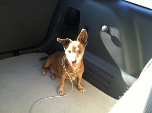 Chihuahua mutt with one eye in the back of a car.