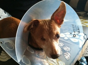 Small brown dog wearing a clear plastic cone.