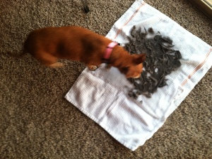 Ginger dog smelling gray cat hair drying on towels.
