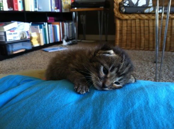 Tabby kitten sleeping on a person's stomach