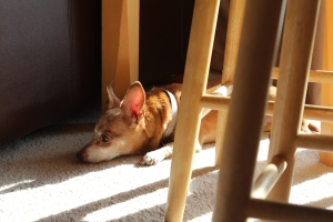 Small brown dog sleeping in the sun
