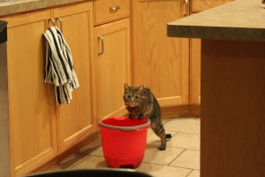 Cat on the edge of a red bucket