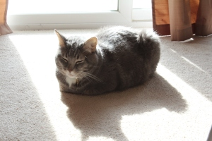 Gray cat sitting happily in the sun
