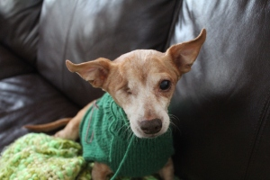 Chiweenie in a green sweater making a sad face