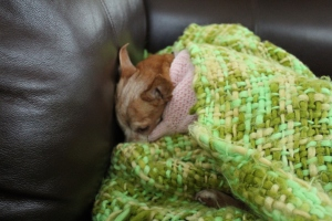 Chiweenie in a pink sweater curled under a green blanket