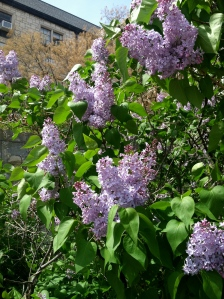 Lilac bush in bloom