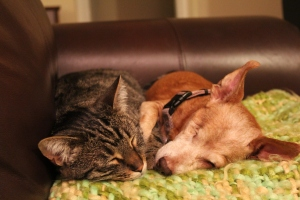 Tabby and chiweenie snuggling on a green blanket