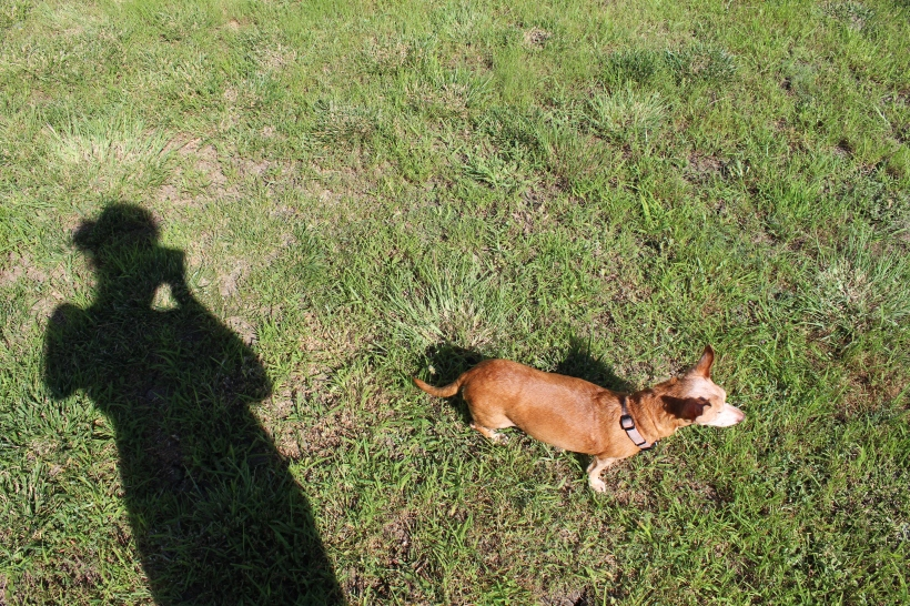 Shadow of a woman taking a photo of a small chiweenie