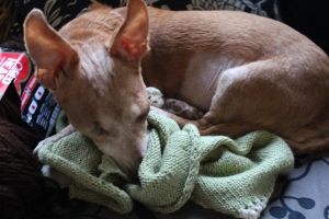 Chiweenie curled up on knitting