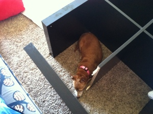 Chiweenie asleep in a partially assembled bookcase