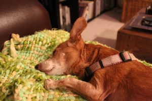 Chiweenie asleep on a lime green blanket
