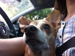 Melba the chiweenie in the driver's seat