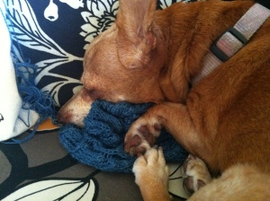 Melba the chiweenie asleep on a knitted shawl