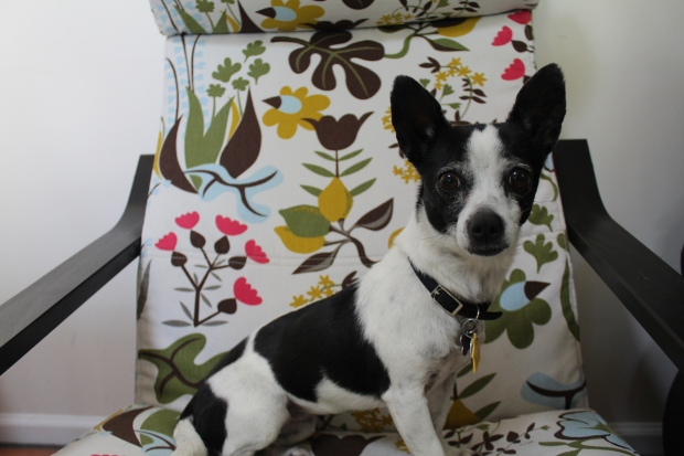 Black and white Chihuahua mix on a brightly printed Ikea chair