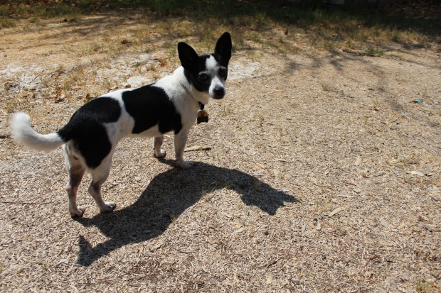 Small black and white spotted Chihuahua mix dog and her shadow