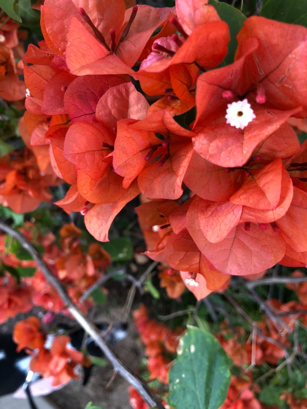 Closeup of peach bougainvillea