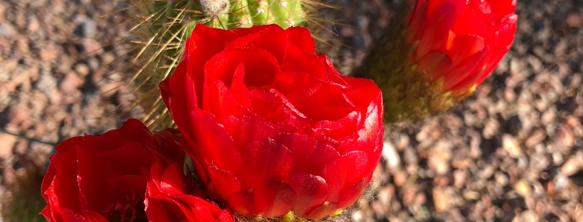 Bright red cactus blossoms